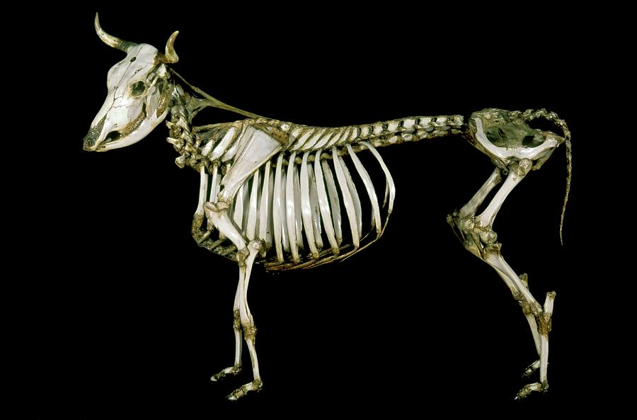 Cow Photograph - 18th Century Cow Skeleton by Patrick Landmann/science Photo Library
