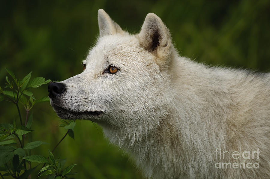 Arctic Wolf Photography Photograph - Arctic Wolf by Wolves Only