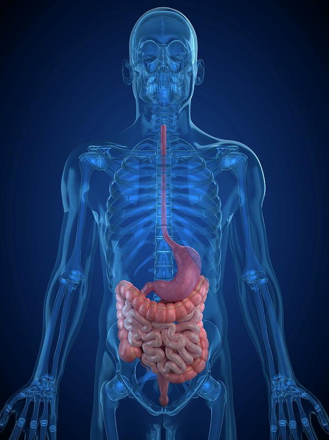 Artwork Photograph - Healthy Digestive System by Sciepro/science Photo Library