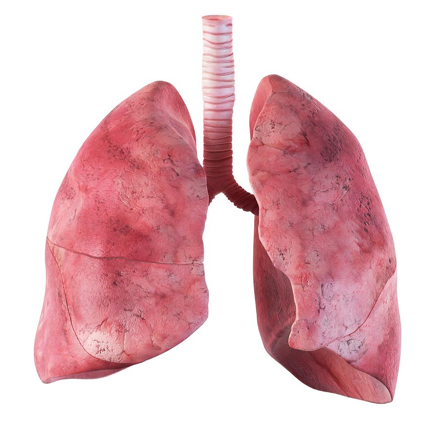 Human Lungs Photograph by Sciepro