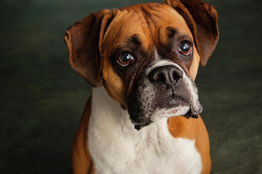 Horizontal Photograph - Portrait Of A Boxer Dog by Animal Images