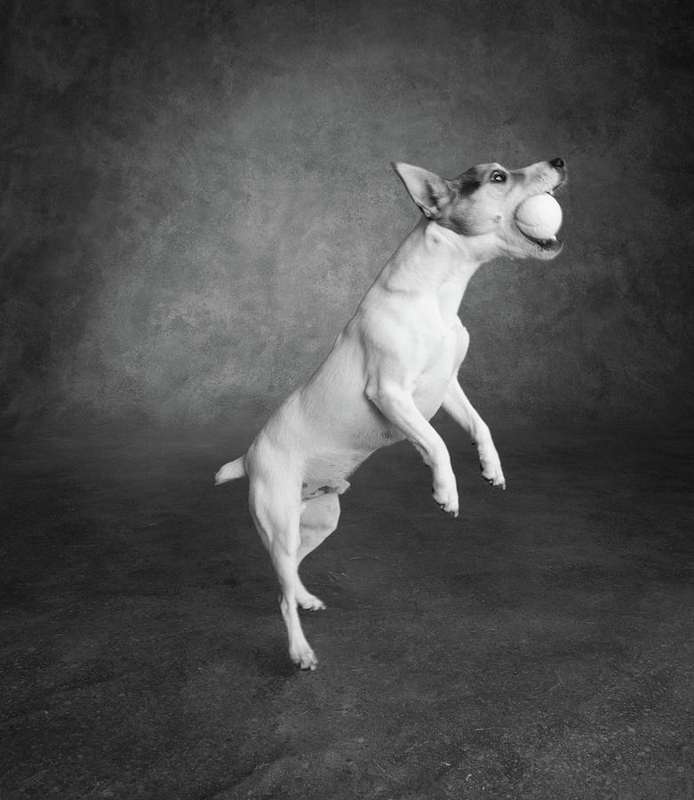 Vertical Photograph - Portrait Of A Jack Russell Terrier Dog by Animal Images