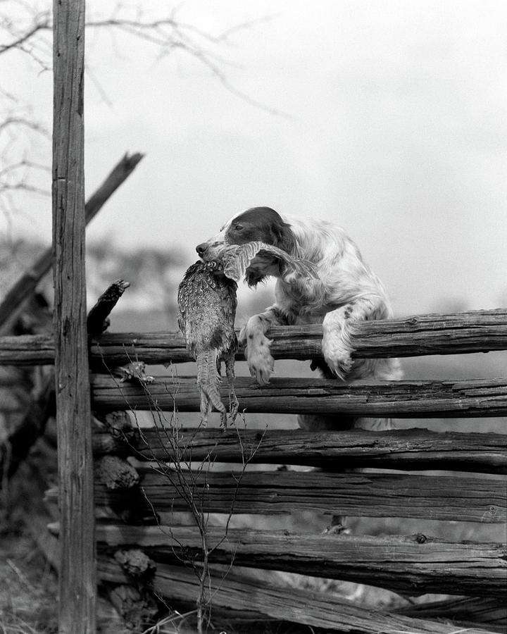 Vertical Photograph - 1920s English Setter Dog Climbing by Animal Images