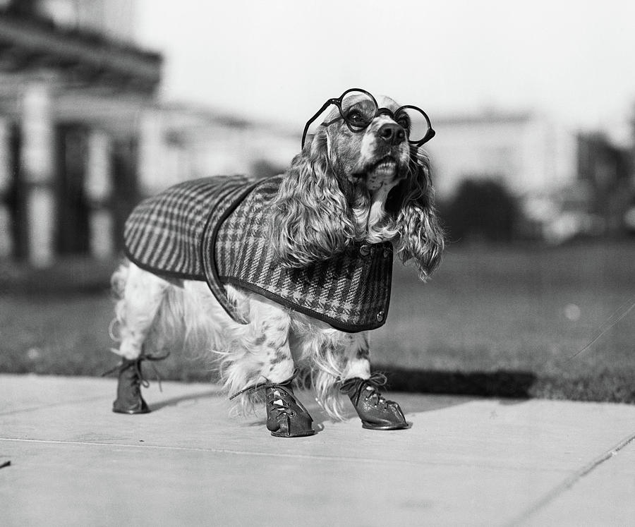 Horizontal Photograph - 1930s Cocker Spaniel Wearing Glasses by Vintage Images