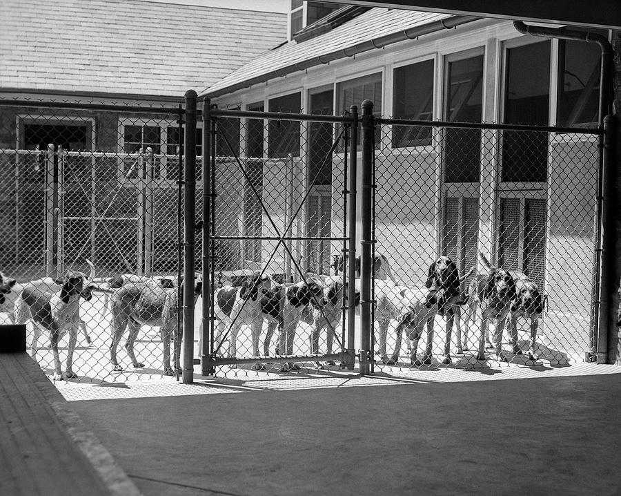 Horizontal Photograph - 1930s Kennel Yard Full Of Foxhound Dogs by Vintage Images