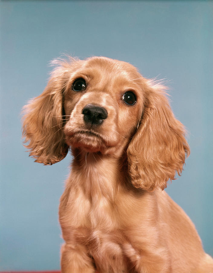 1960s Cute Cocker Spaniel Puppy Looking Photograph by ...