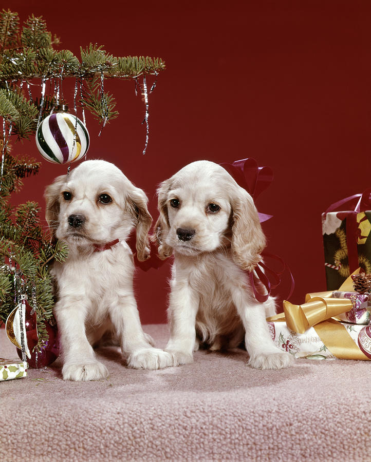 Vertical Photograph - 1960s Two Cocker Spaniel Puppies by Vintage Images