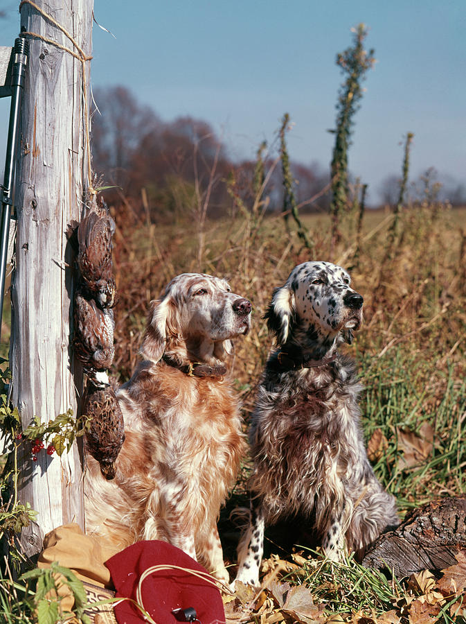 Vertical Photograph - 1960s Two English Setter Dogs Sitting by Animal Images