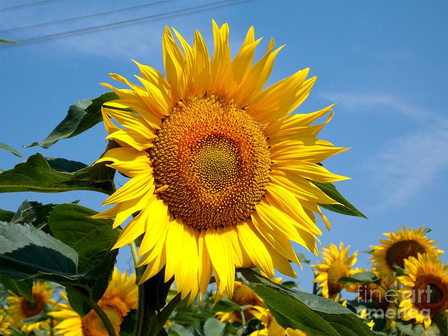 2013 Photograph - 1964-beauti Sunflowers by Elvira Ladocki