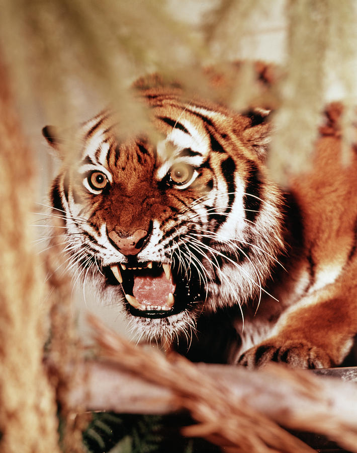 Vertical Photograph - 1970s Snarling Growling Mean Tiger by Animal Images