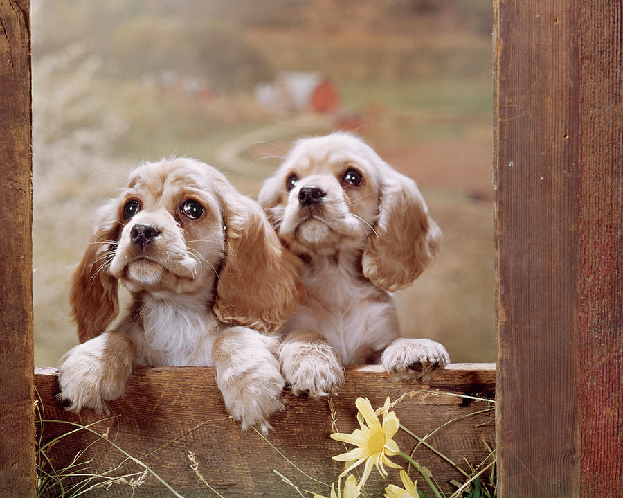 Horizontal Photograph - 1970s Two Cocker Spaniel Puppies by Vintage Images