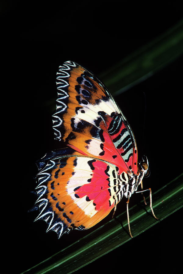 Vertical Photograph - 1990s Colorful Malay Lacewing Butterfly by Animal Images