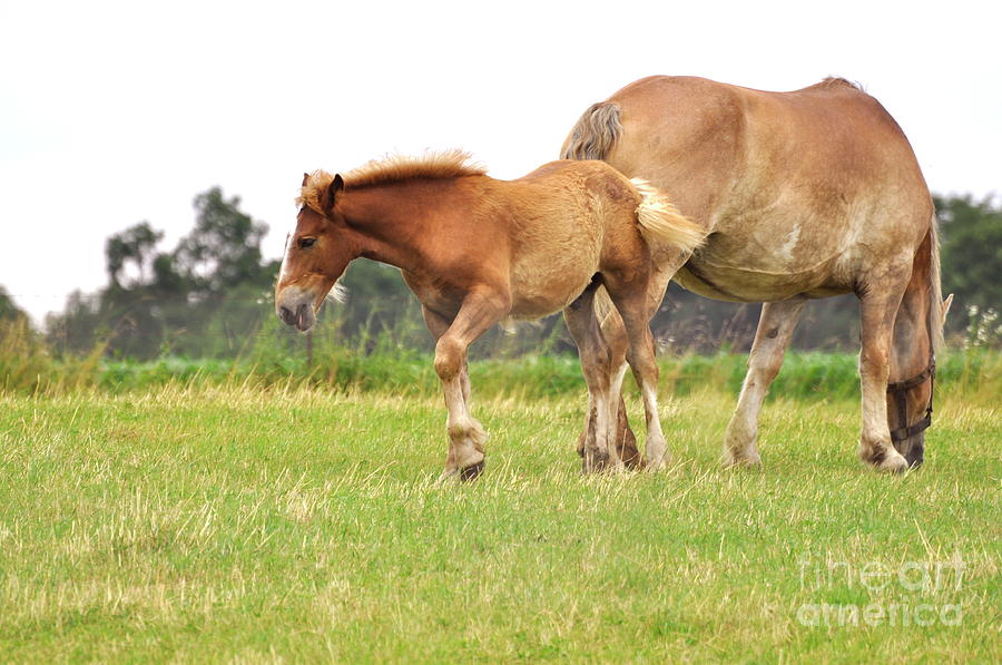 Amish Photograph - A Mare And Her Colt by Penny Neimiller