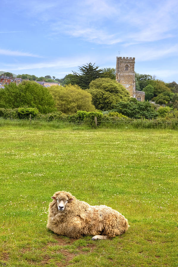Sheep Photograph - Abbotsbury by Joana Kruse