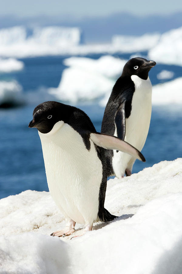 Pygoscelis Adeliae Photograph - Adelie Penguins by William Ervin/science Photo Library