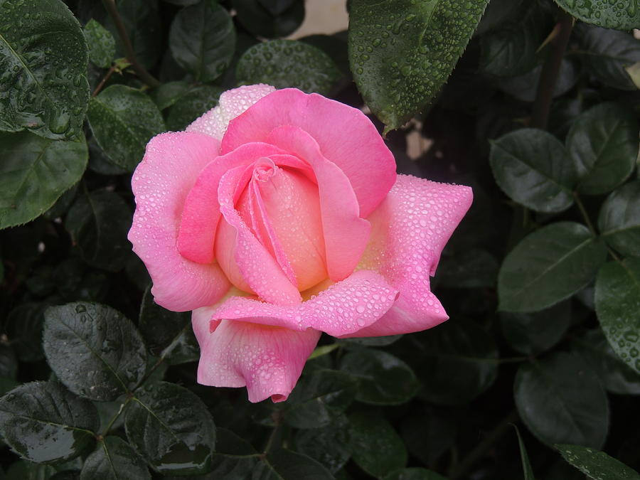 Rose Photograph - After The Rain by Helen Carson