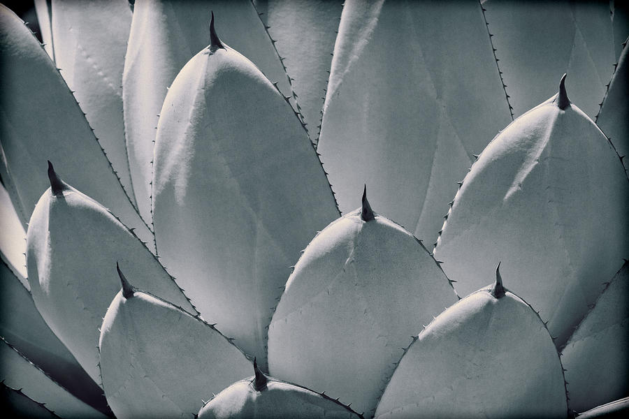 Vintage Photograph - Agave Leaves by Kelley King