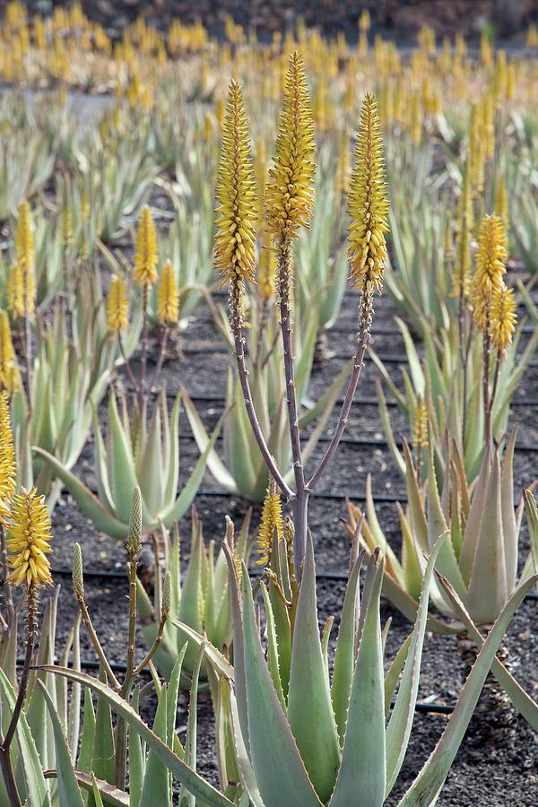Angiosperm Photograph - Aloe Vera In Cultivation by Bob Gibbons/science Photo Library