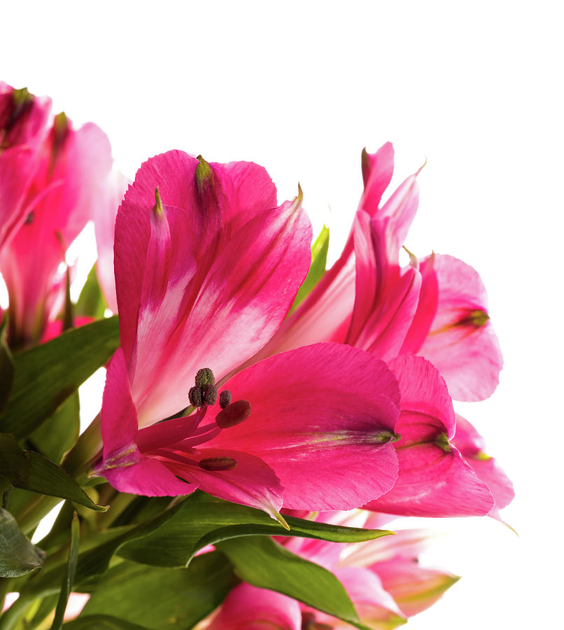Vertical Photograph - Alstroemeria Flowers Against White by Panoramic Images