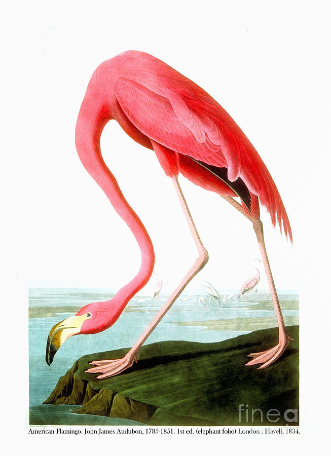 American Flamingo Drawing