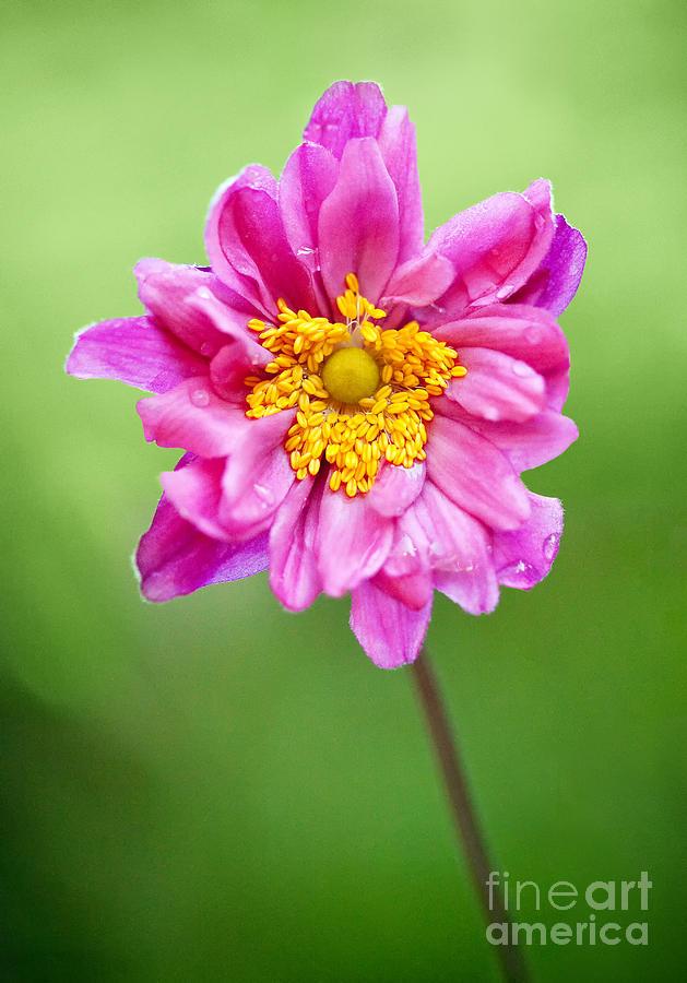 Flower Photograph - Anemone Flower by Natalie Kinnear