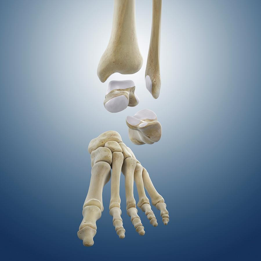 Ankle Joint Anatomy Photograph by Springer Medizin