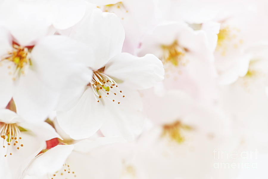 Apple Blossoms Photograph - Apple Blossoms by Elena Elisseeva