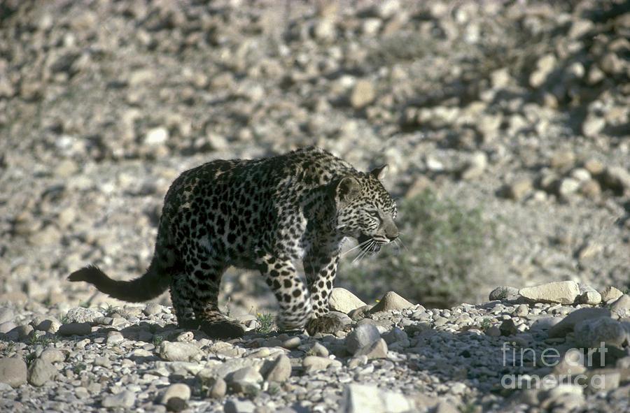 Leopard Photograph - Arabian Leopard Panthera Pardus 1 by Eyal Bartov