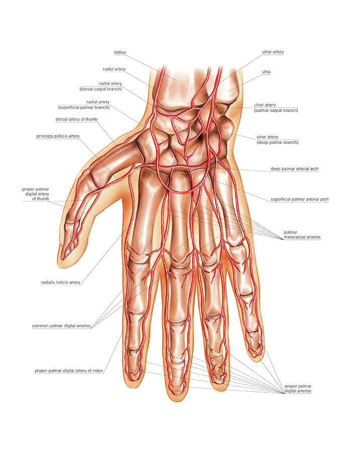 Arterial System Of The Hand Photograph By Asklepios Medical Atlas