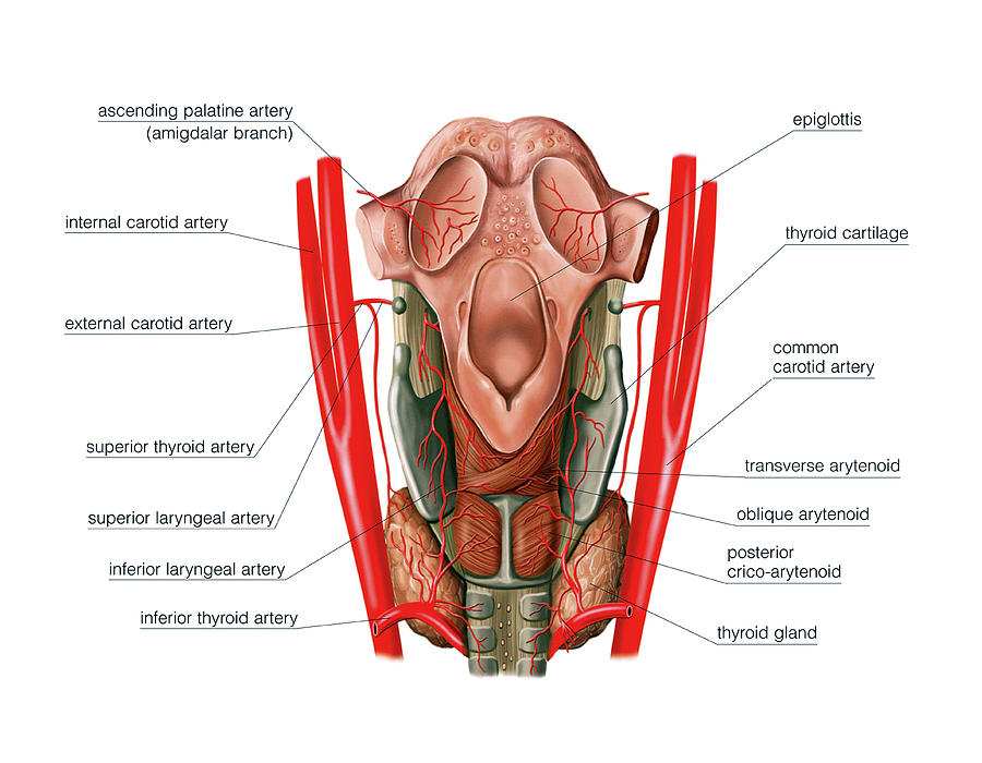 Arterial System Of The Neck Photograph By Asklepios Medical Atlas
