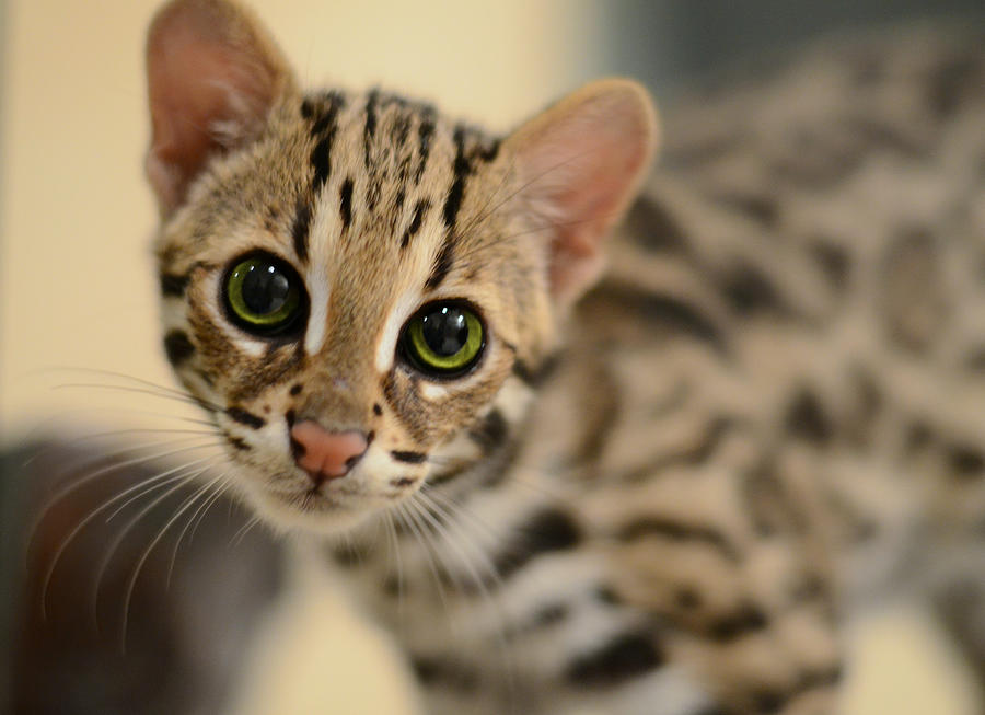Featured asian cat leopard them