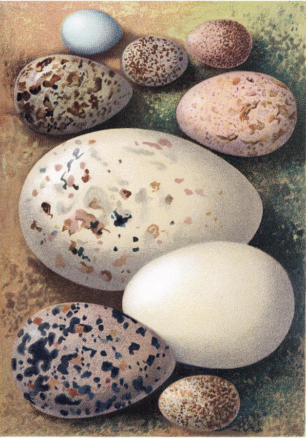 Animal Photograph - Assorted Birds Eggs, Historical Art by Sheila Terry