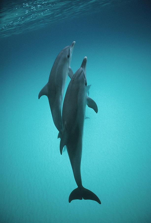 Atlantic Spotted Dolphin Pair Bahamas Photograph by Flip Nicklin