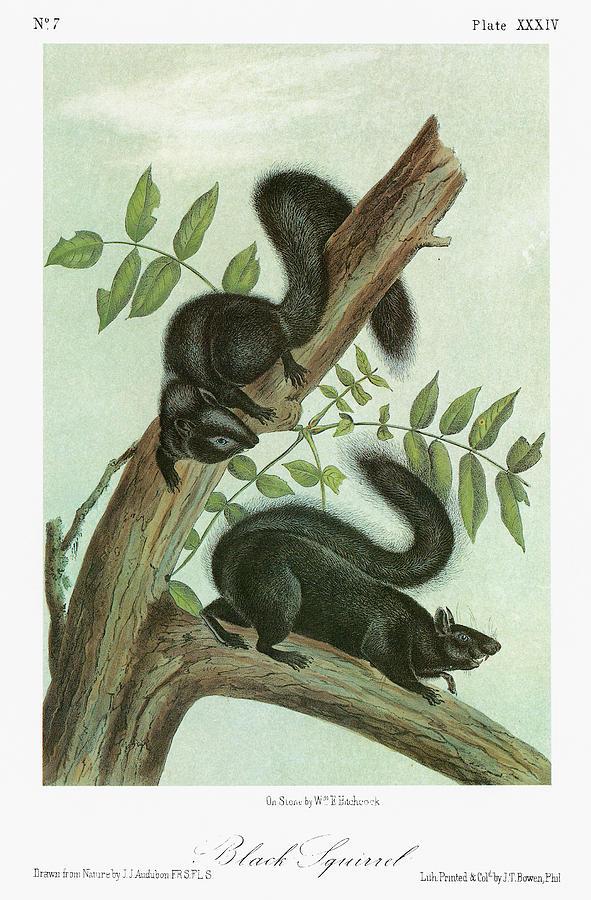1849 Painting - Audubon Squirrel by Granger