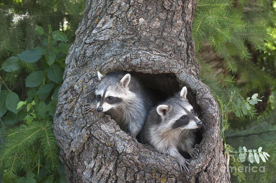 Raccoons Photograph - Awaiting Mom by Sandra Bronstein