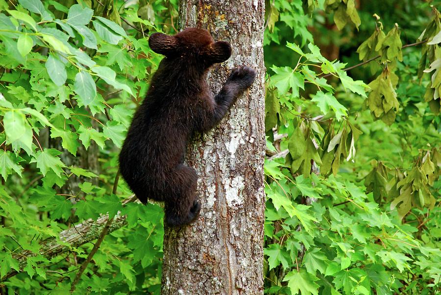 American Black Bear Photograph - Baby Bear by Christi Kraft