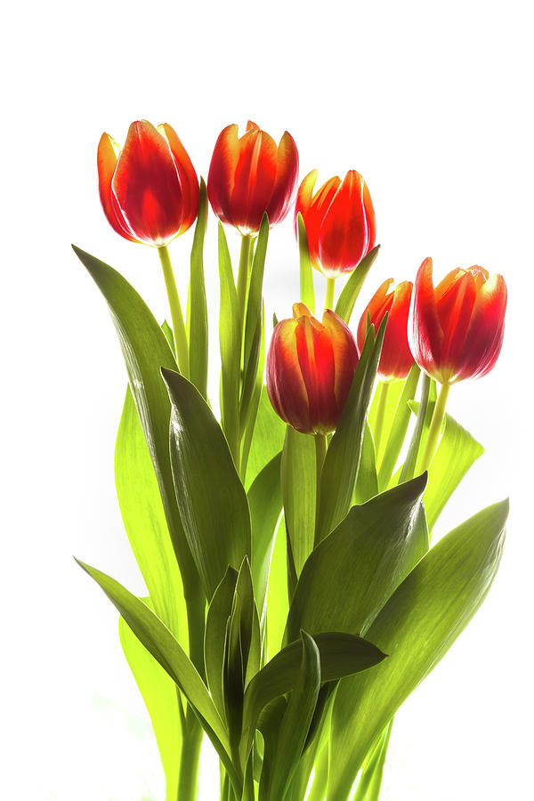 Vertical Photograph - Backlit Tulip Flowers Against White by Panoramic Images