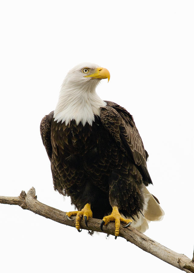 Birds Photograph - Bald Eagle by Doug Herr