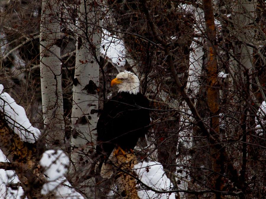 Bald Eagle Photograph - Bald Eagle by Omaste Witkowski