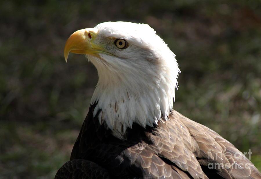 Bald Eagle Photograph - Bald Eagle Portrait by Christiane Schulze Art And Photography