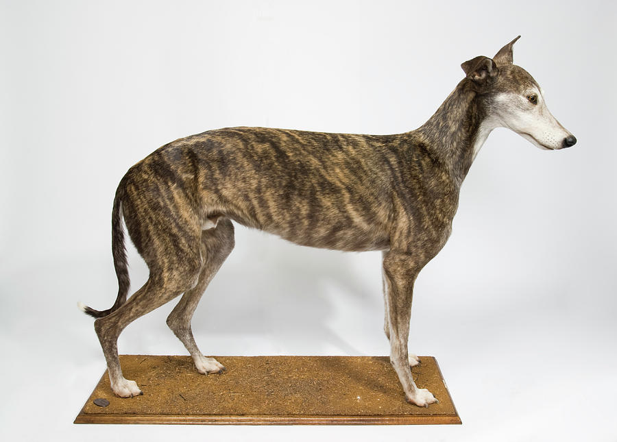 Canis Lupus Familiaris Photograph - Ballyregan Bob by Natural History Museum, London/science Photo Library