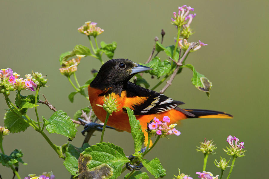 Adult Photograph - Baltimore Oriole (icterus Galbula by Larry Ditto