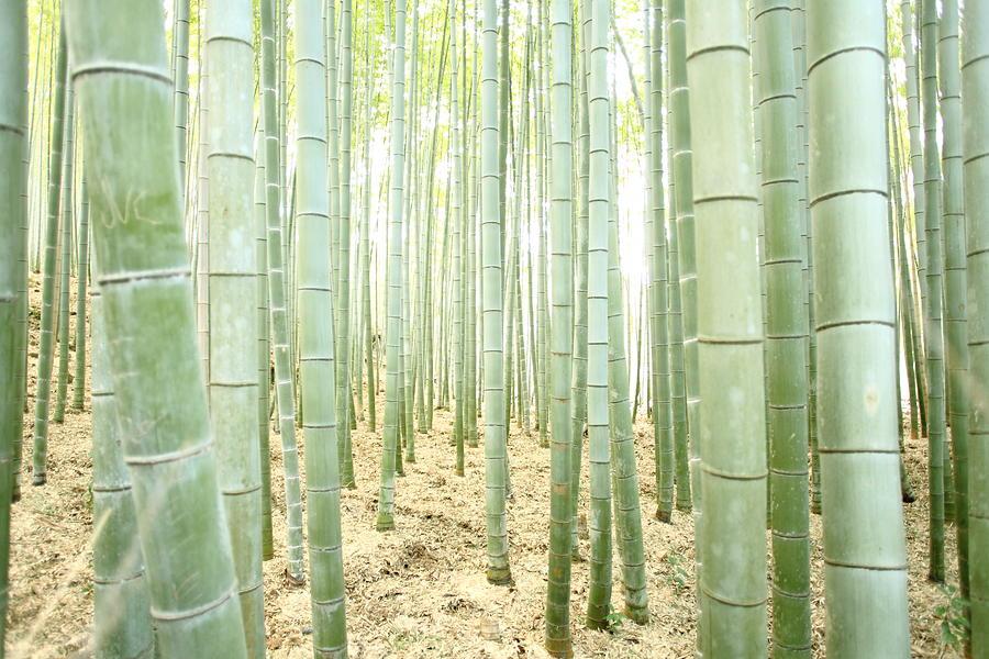 Bamboo Forest Photograph by Kanekodaidesignoffice Caramel