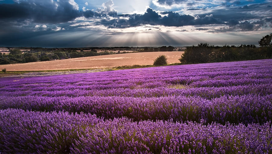 Lavender Photograph - Beautiful Lavender Field Landscape With Dramatic Sky by Matthew Gibson