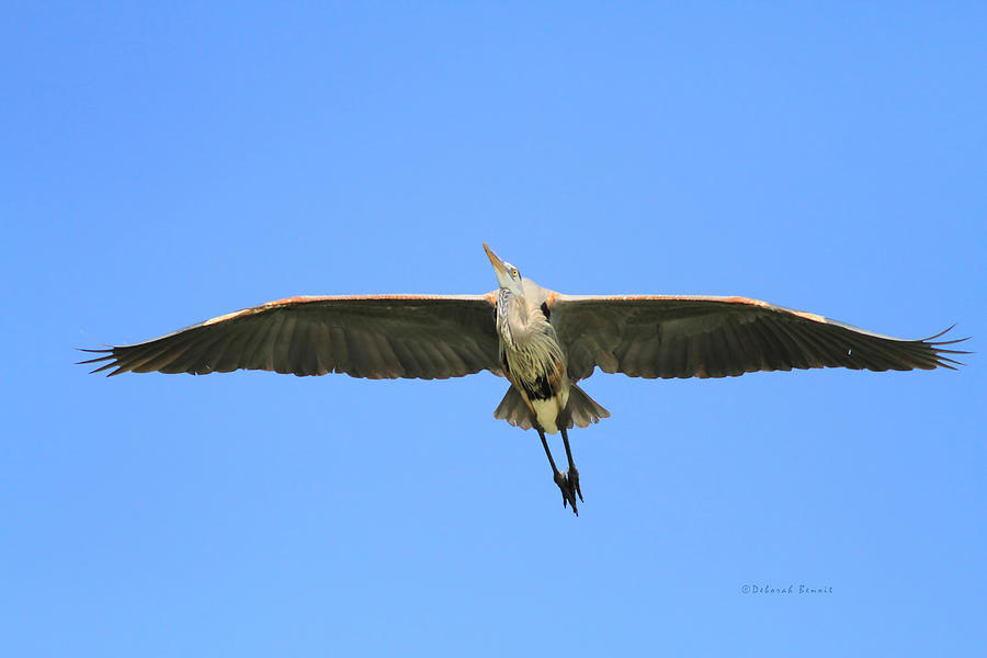 Blue Heron Photograph - Beauty Of Flight by Deborah Benoit