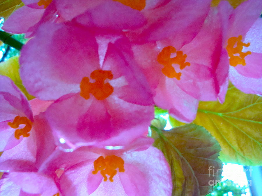 Arrangement Photograph - Begonia Debut by Cathy Dee Janes