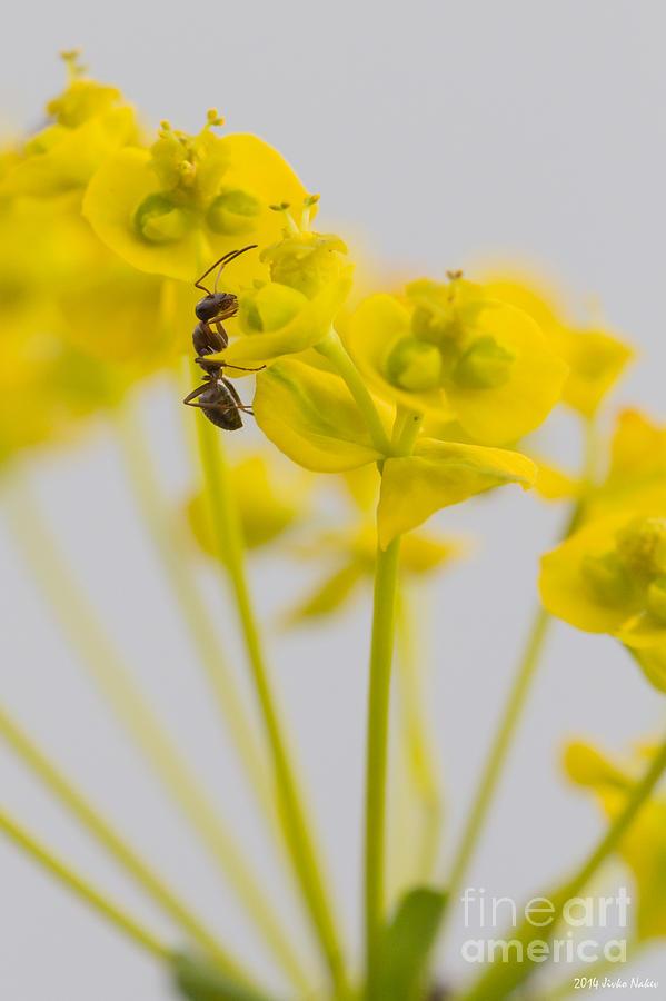 Black Garden Ant Photograph - Black Garden Ant On Yellow Flower by Jivko Nakev