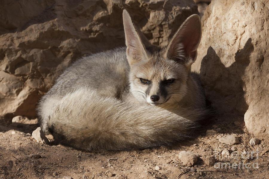 Blanford S Fox Vulpes Cana Photograph By Eyal Bartov