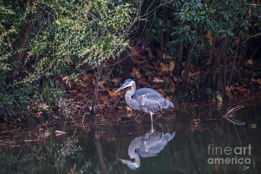 Blue Heron Reflection Photograph