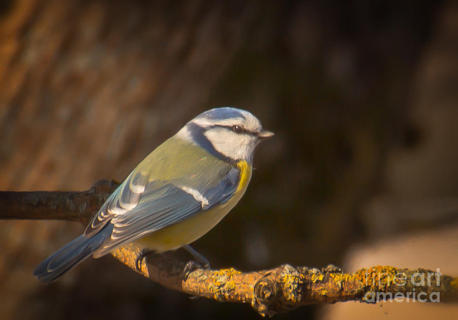 Bird Photograph - Blue Tit by Sylvia  Niklasson